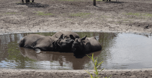 1s---Hippopotames