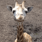 Belle girafe du zoo du Bassin d'Arcachon